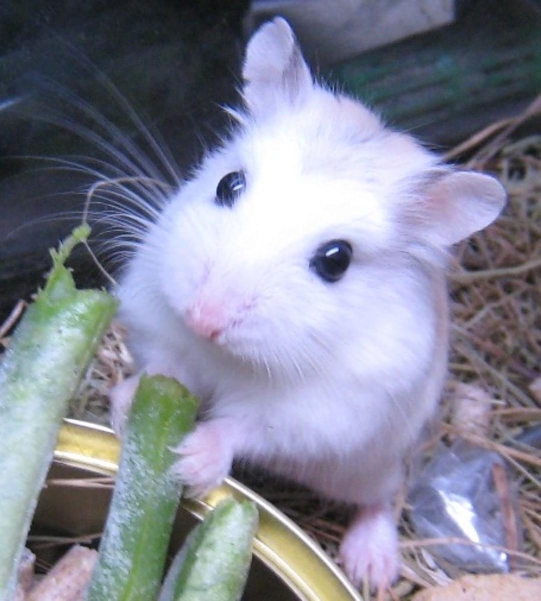 Here is a beautiful Dwarf Hamster enjoying a few green beans.