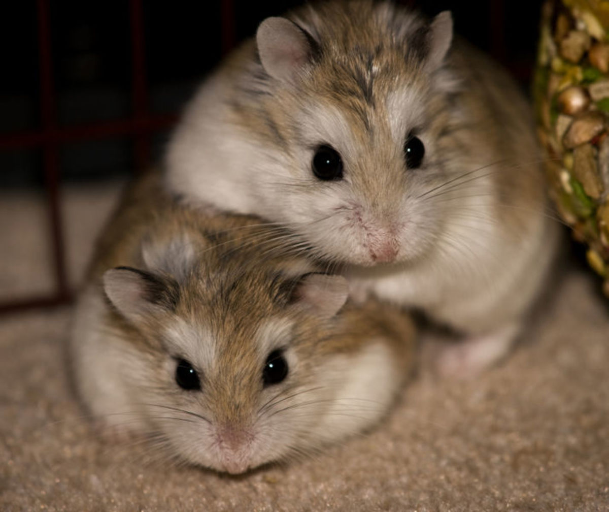 Dwarf Hamsters at about 28 days of age in this photo. They really are cute aren't they.