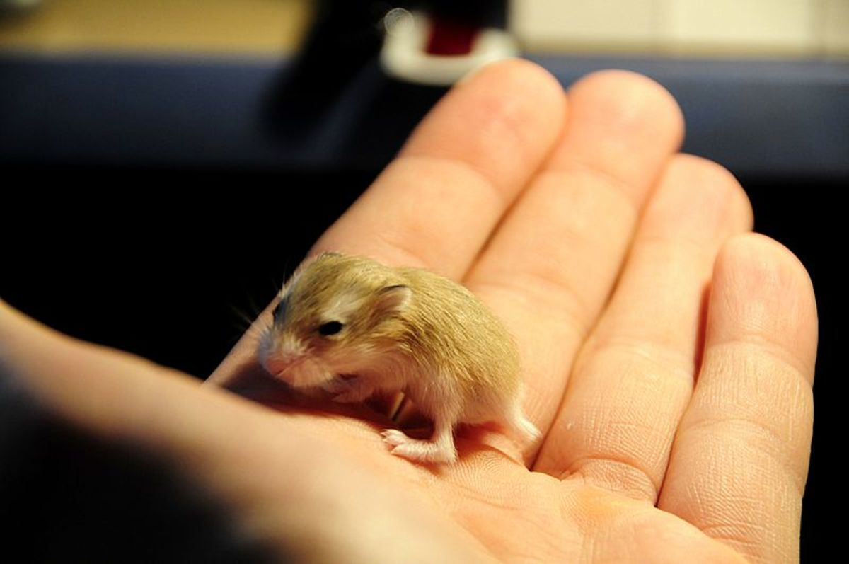 Here is a baby dwarf hamster at about 21 days of age.