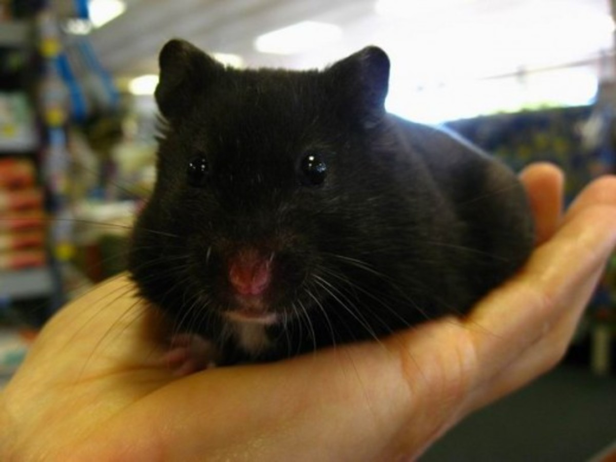 In this photo is a Black Bear Hamster which is a color phase of Syrian Hamsters