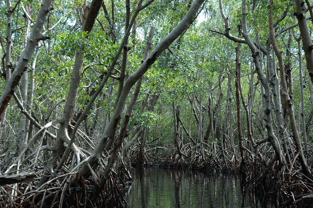 Mangroves in Everglades