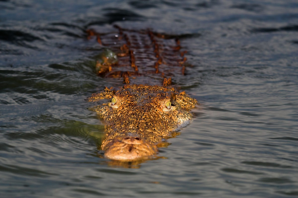 The Tarpon Lake Monster could be a large alligator.