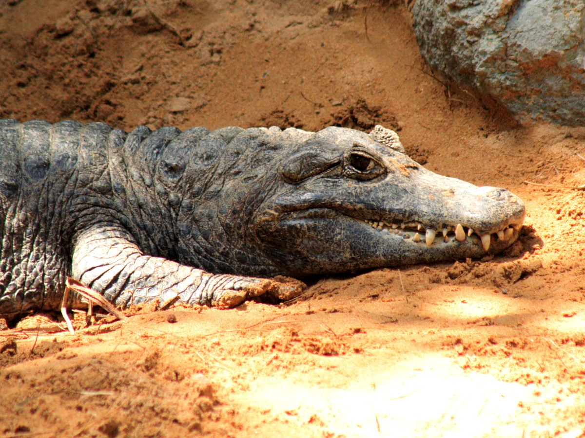 Two-Toed Tom was a monster gator.
