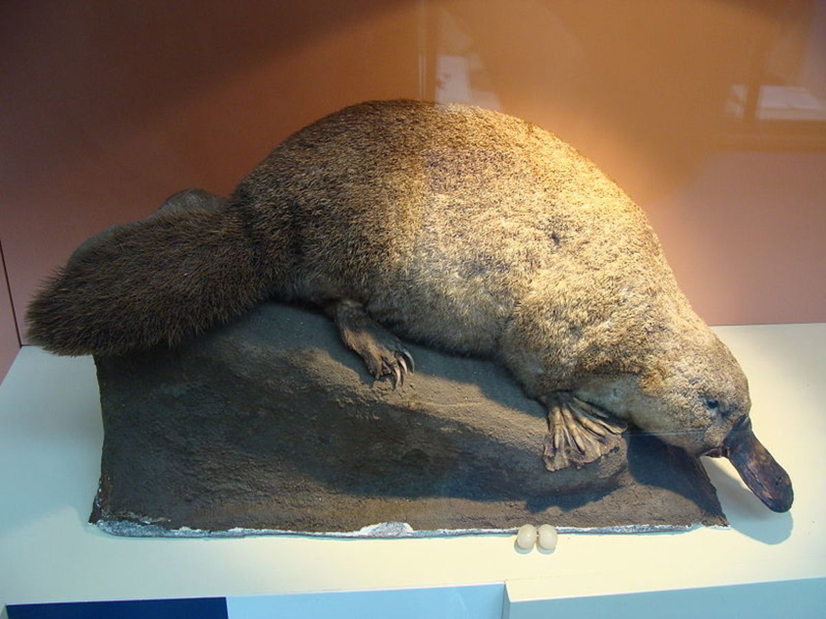 Duck-billed platypus (male: neurotoxic)