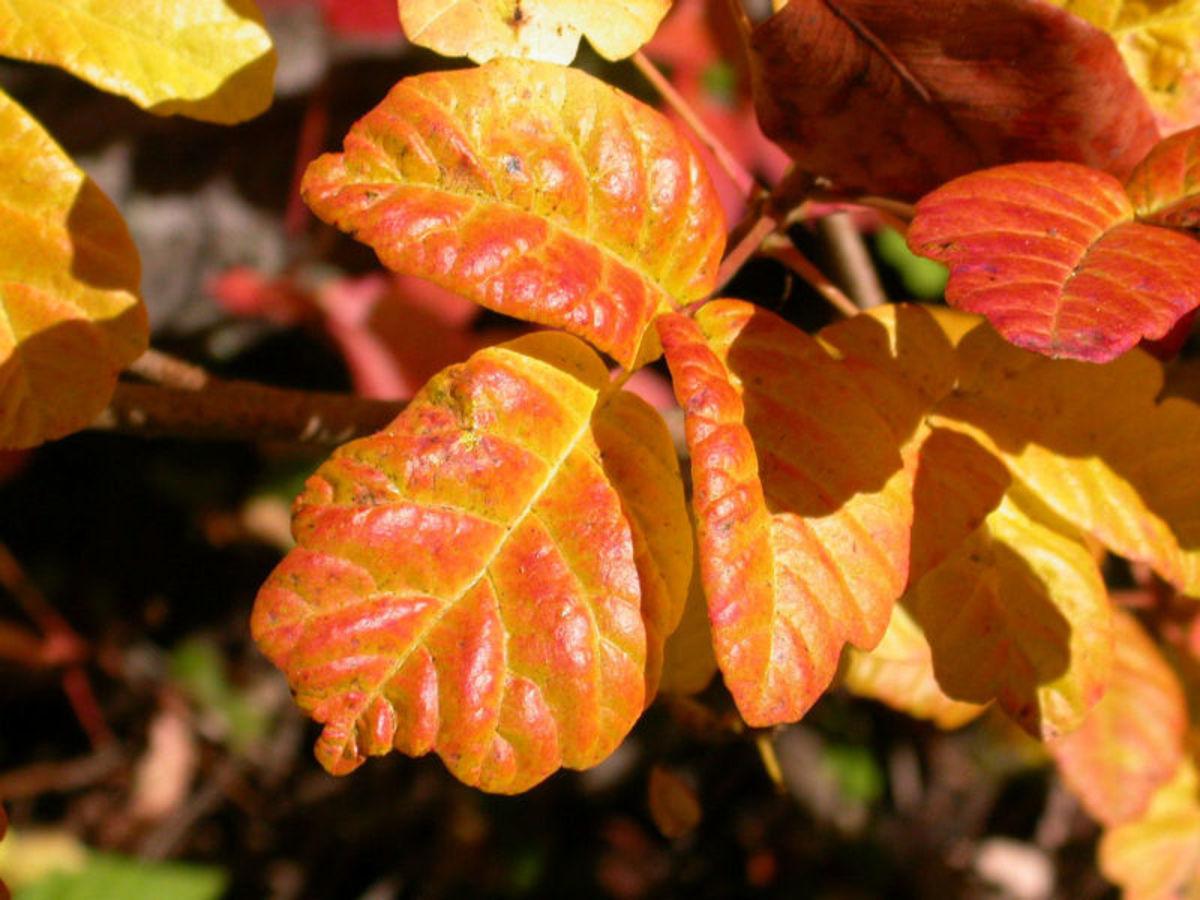 Poison oak (Pacific)