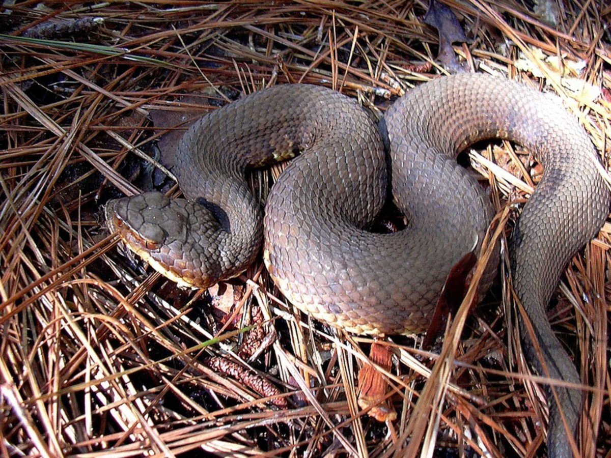 Western Cottonmouth snake (hemotoxic)