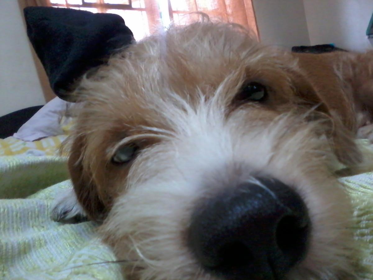 My wire haired dachsund, Mocha Barney