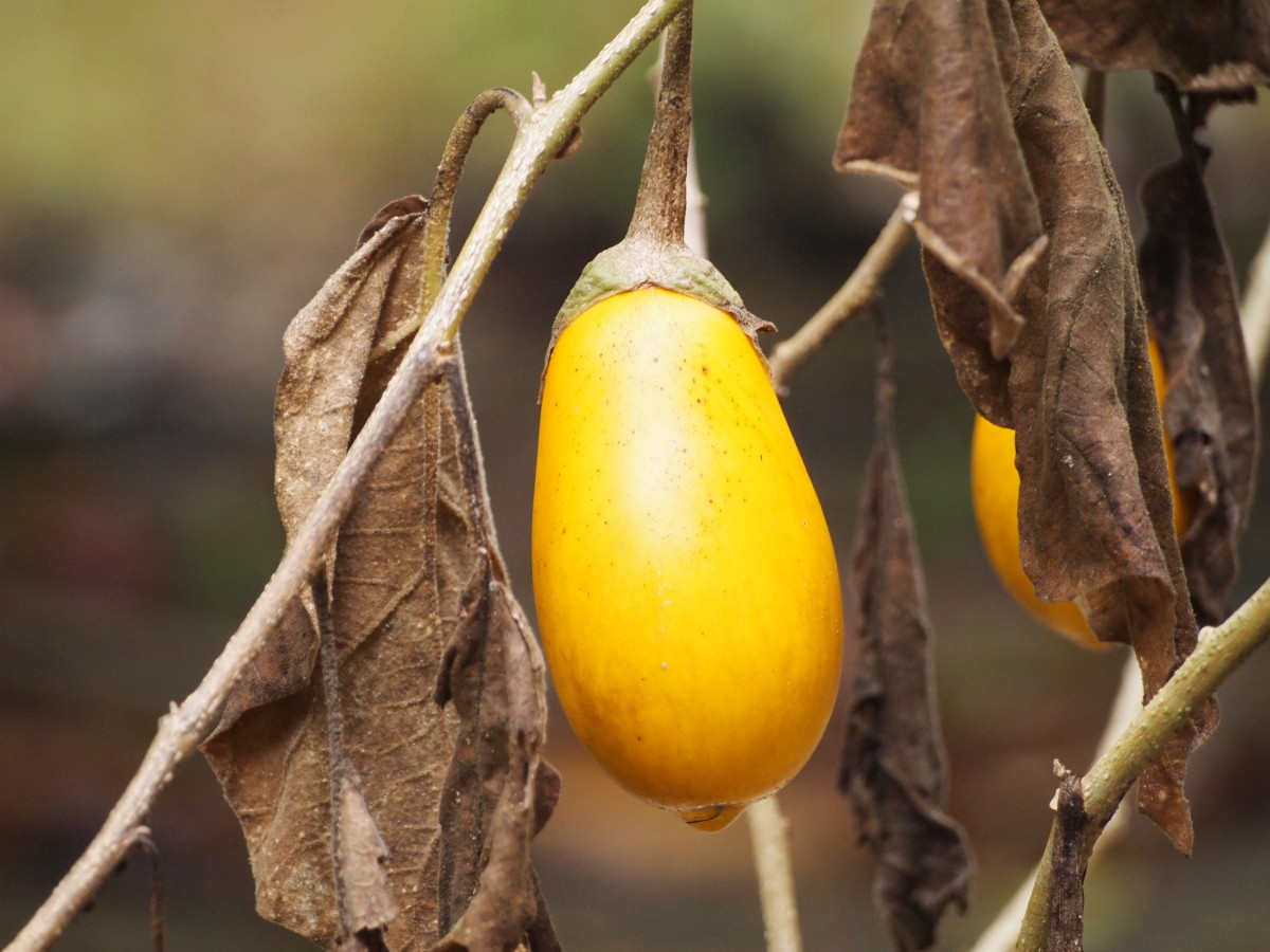yellow egg plant