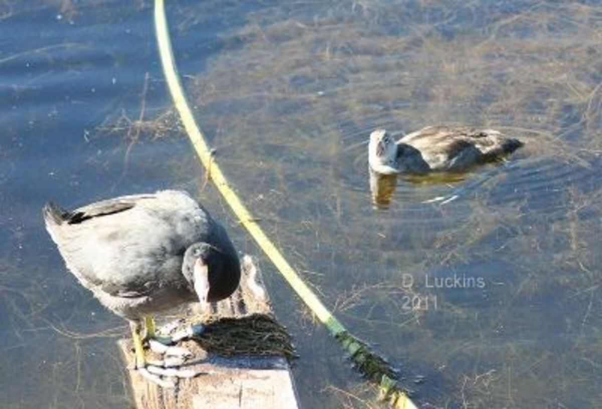 Baby Coot and Mama