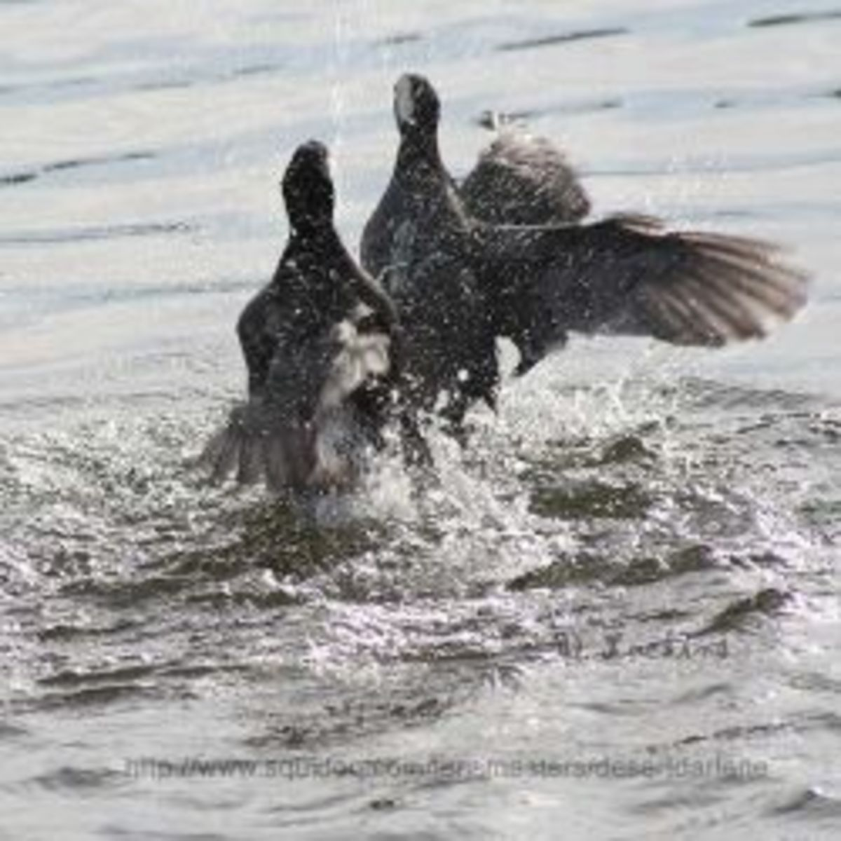 The Interesting and Aggressive American Coot