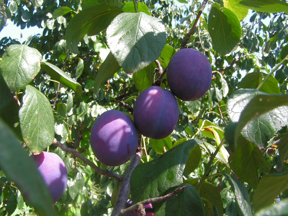 Health Benefits of the Cooling Prunes Fruit