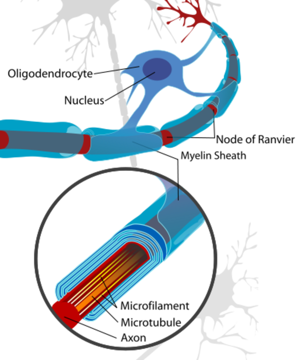 Structure of a neuron or nerve cell