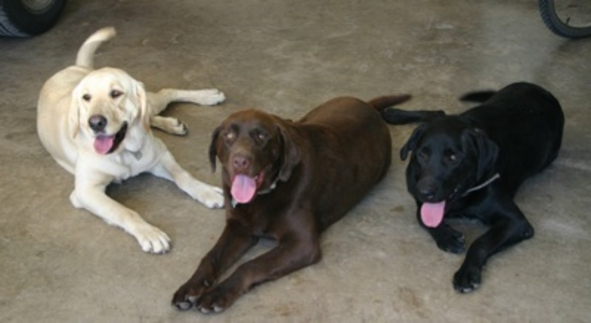 These dogs are very energetic. They work hard, but play a lot harder! They can be trained to be very calm, family dogs. One of the most loyal companions out there! They need their exercise, so playing with the kids wont be a hard task at all!