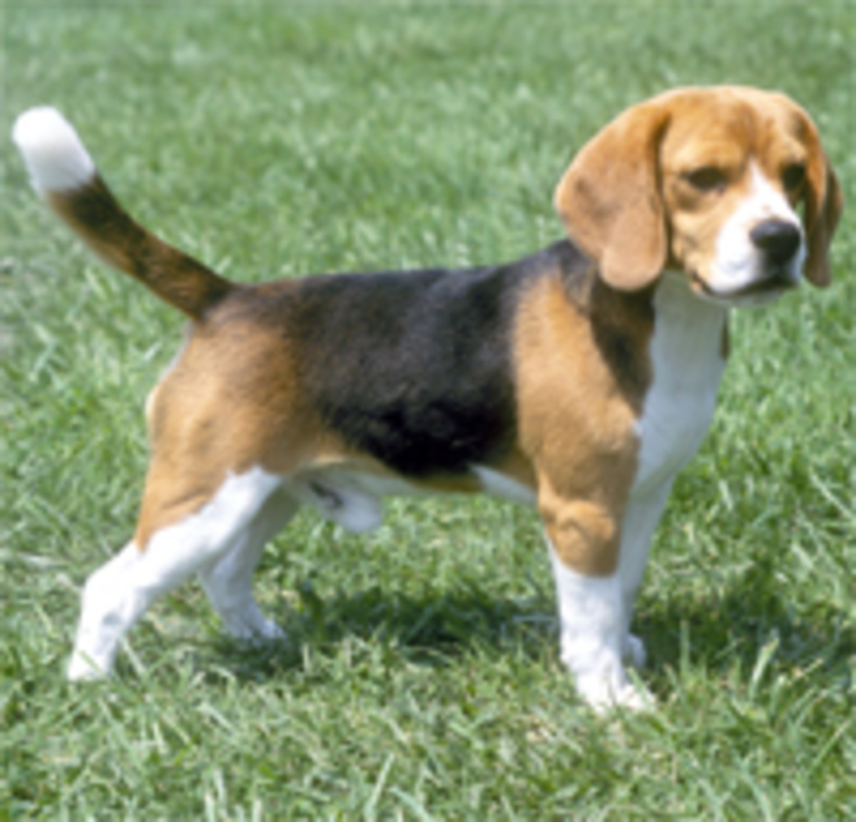 In the 14th century, beagles were often used to help hunters.This dog is such a lovable and laid back pup, but energetic when need be! Whether it be animals or humans, he needs companionship. True definition of 'a mans bestfriend.'