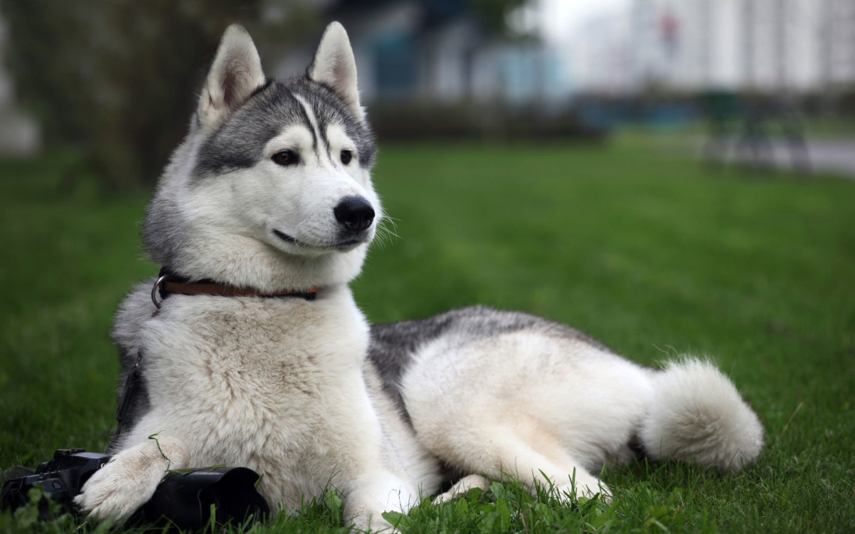 These dogs were developed about half a million years ago in Siberia. They are very loyal companions. Today, these huskies are wonderful sled dogs, but make amazing family watch dogs as well. They are very lovable. And, they love playing with kids!