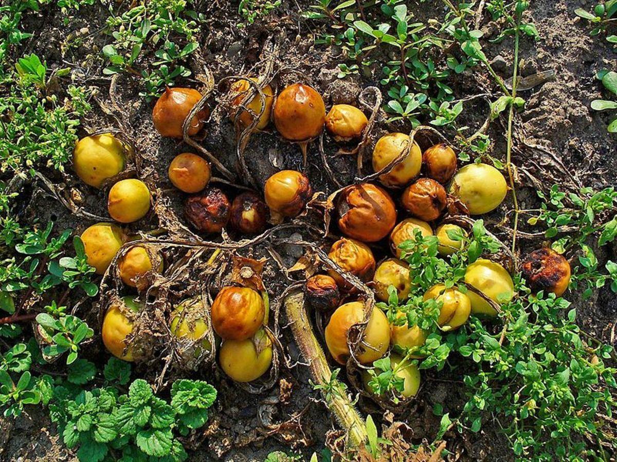 Mandragora officinarum, Common Mandrake, fruits
