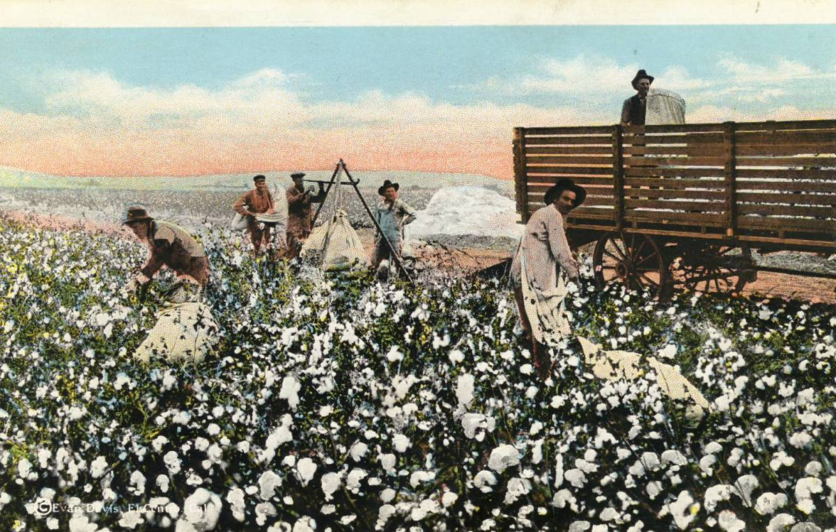 Cotton pickers with long picking sacks