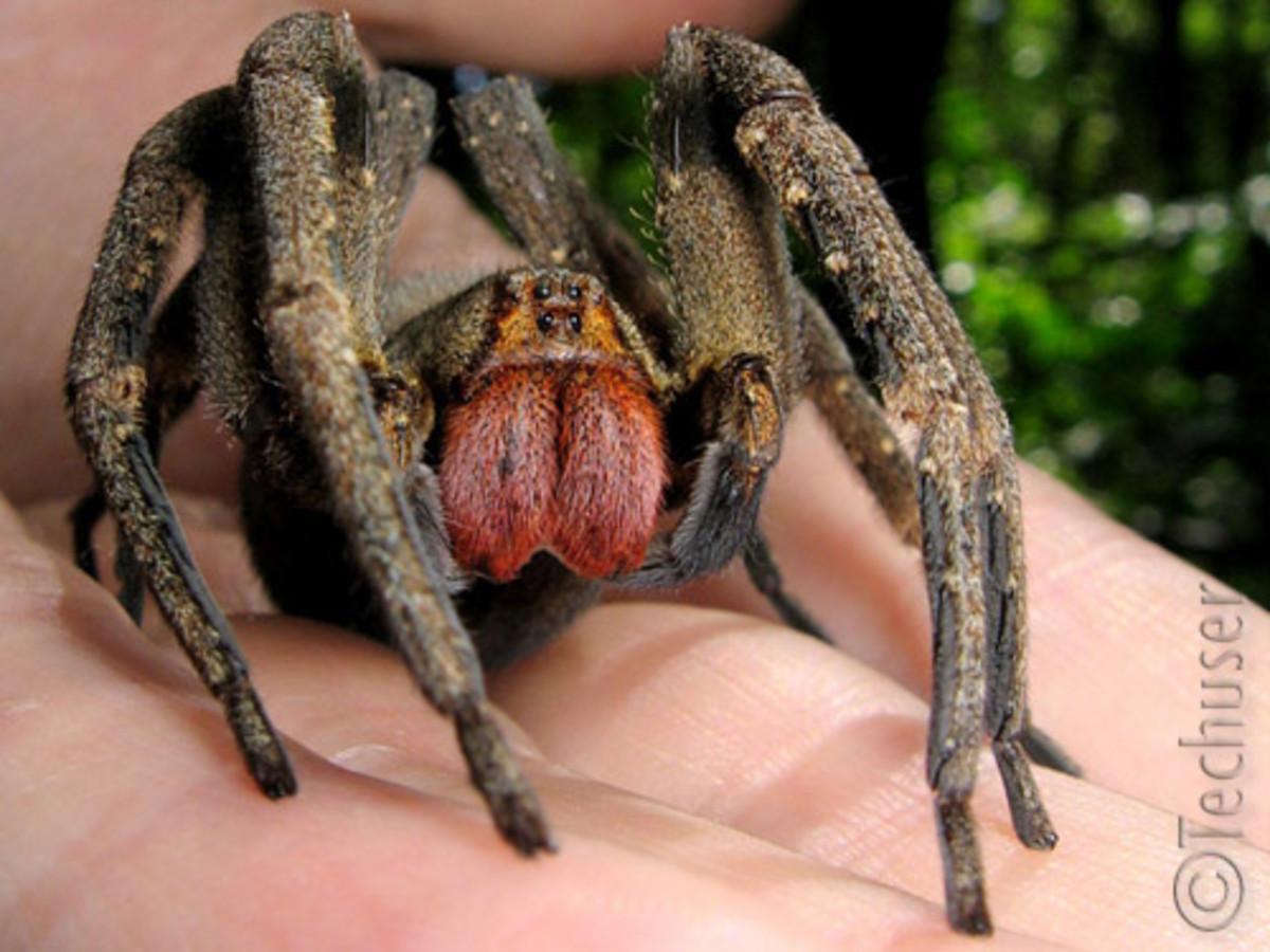 Brazilian Wandering spider. Phoneutria nigriventer