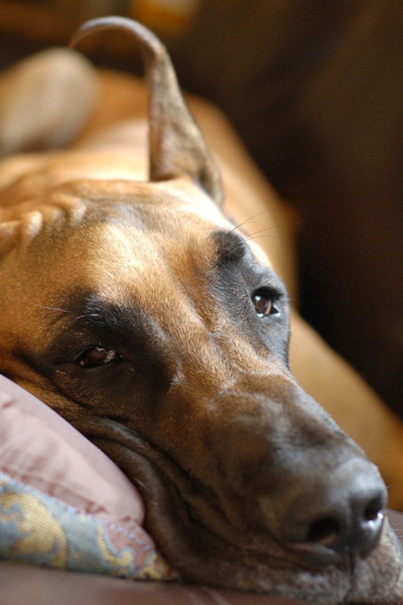Selecting the right dog bed is especially important for large dog breeds.