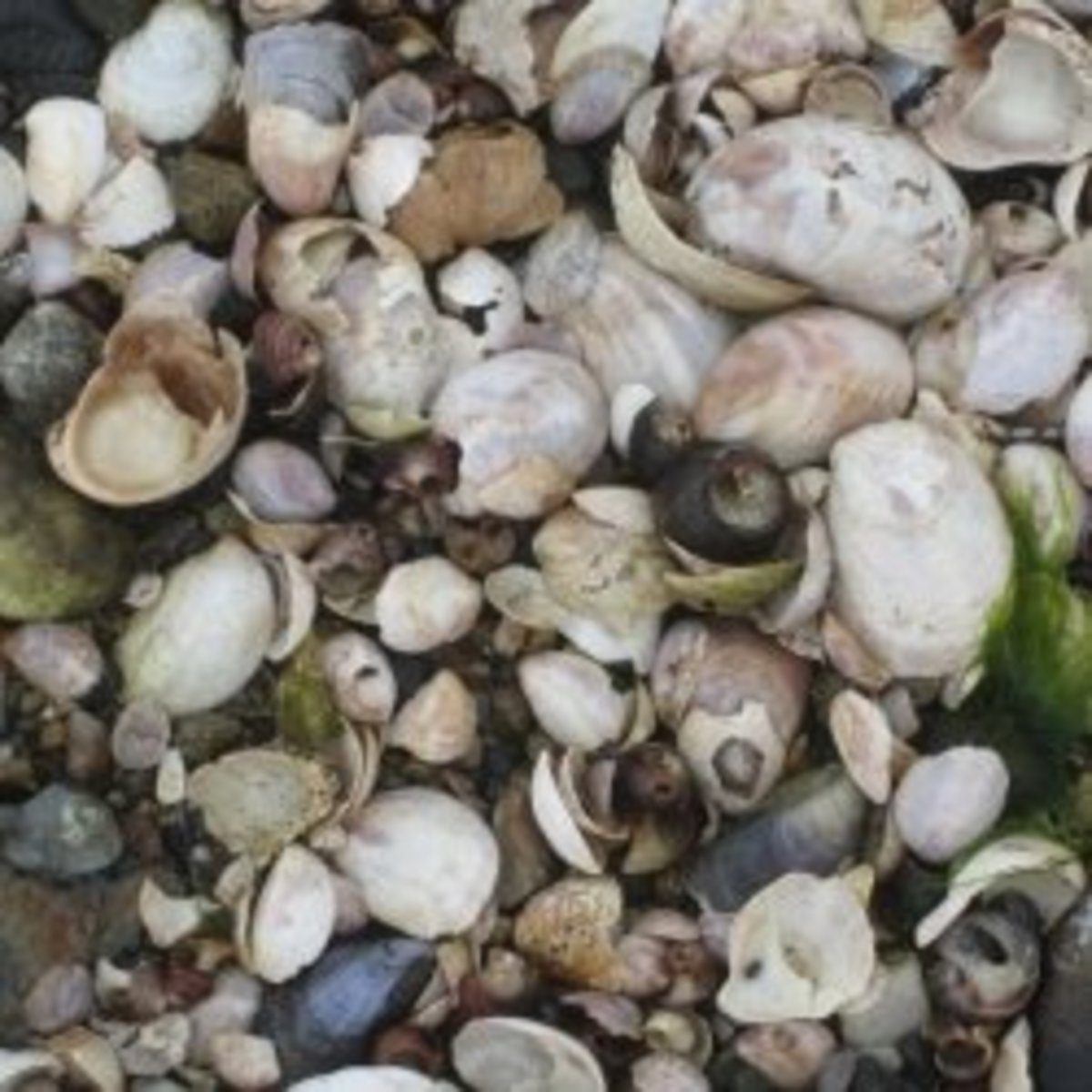 Identifying Seashells from a Beachcombing Collection