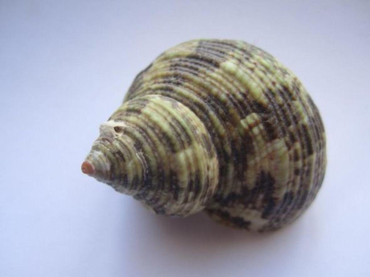 identifying-seashells-beachcombing-collection