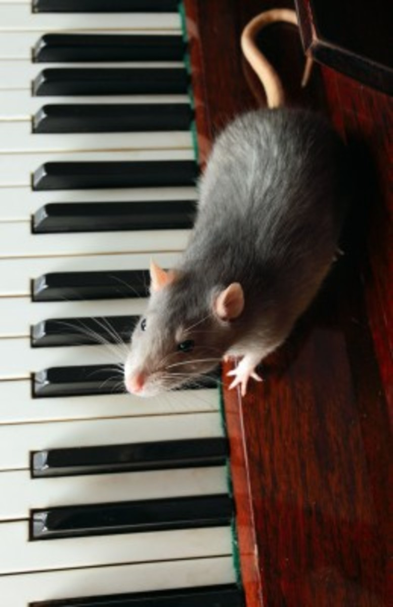 Keep Your Rat Entertained!