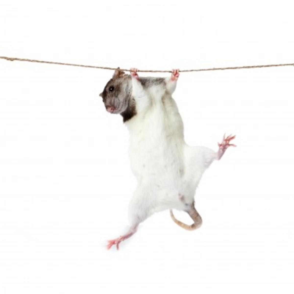 Rats Love to Climb!