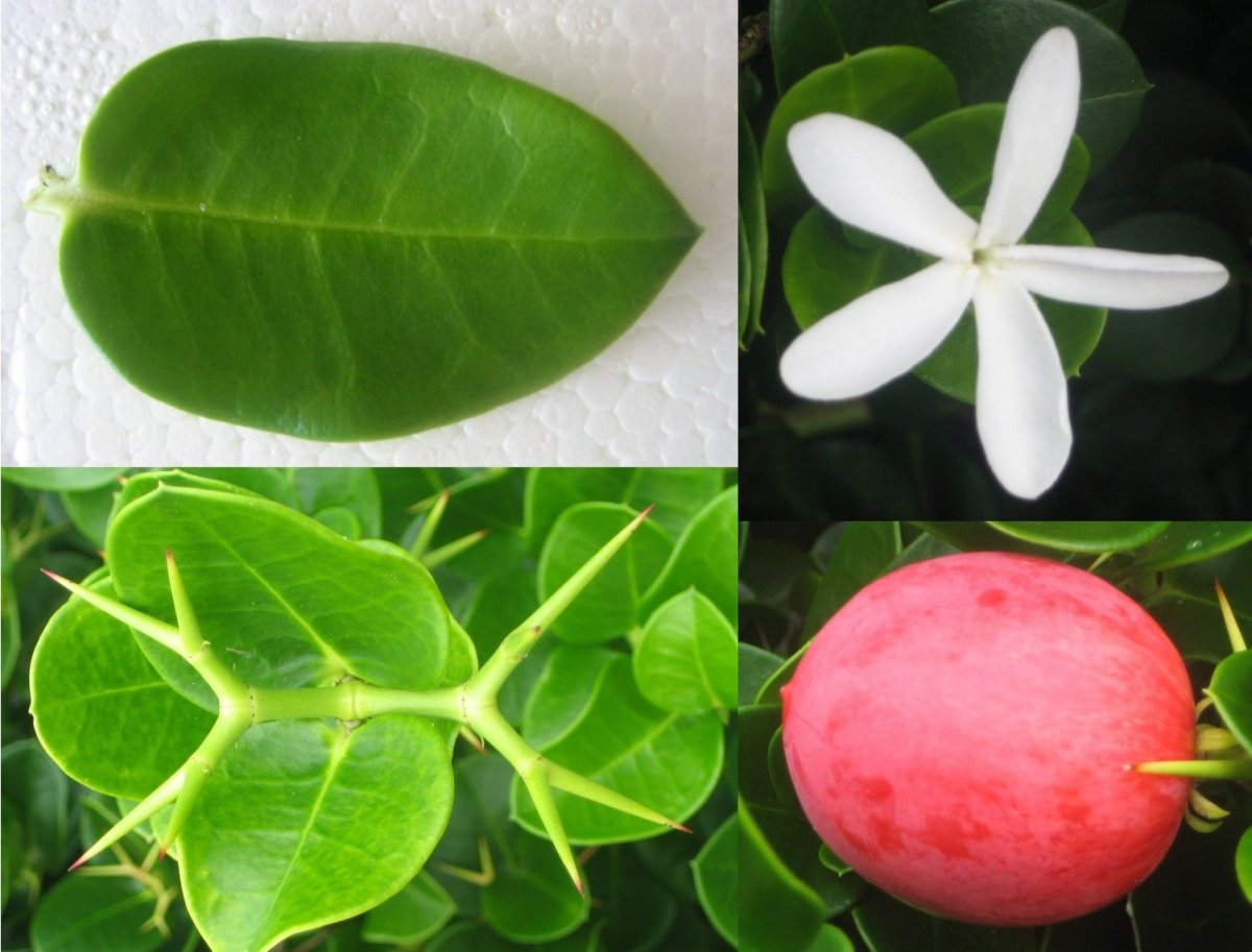 from clockwise; flower, fruit, spines and leaf