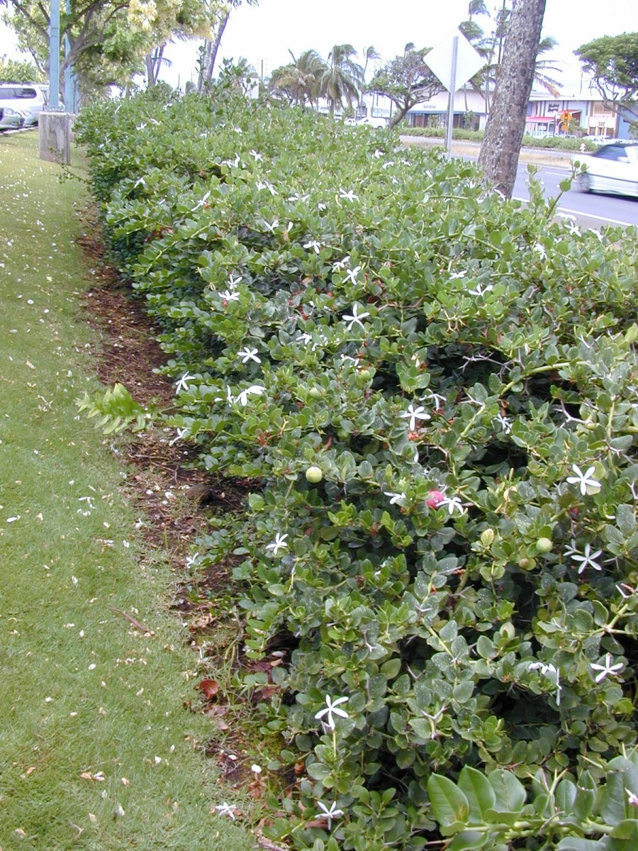 Growing as a hedge in Maui, Hawaii