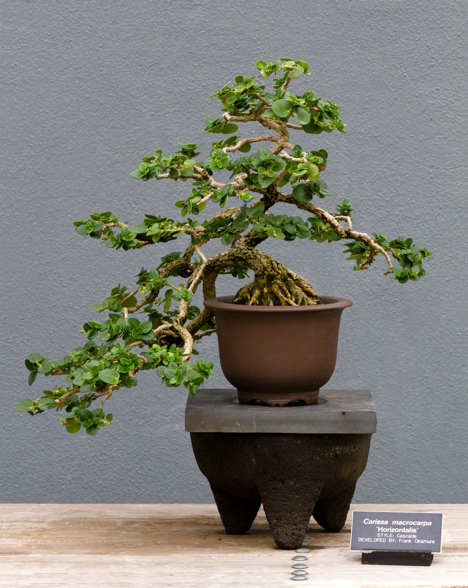 A beautiful Bonsai Natal plum