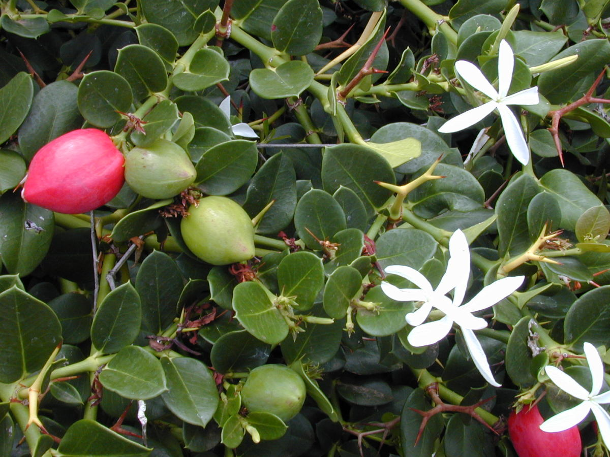 Natal Plum: Nutritional and Health Benefits of This Tropical Fruit