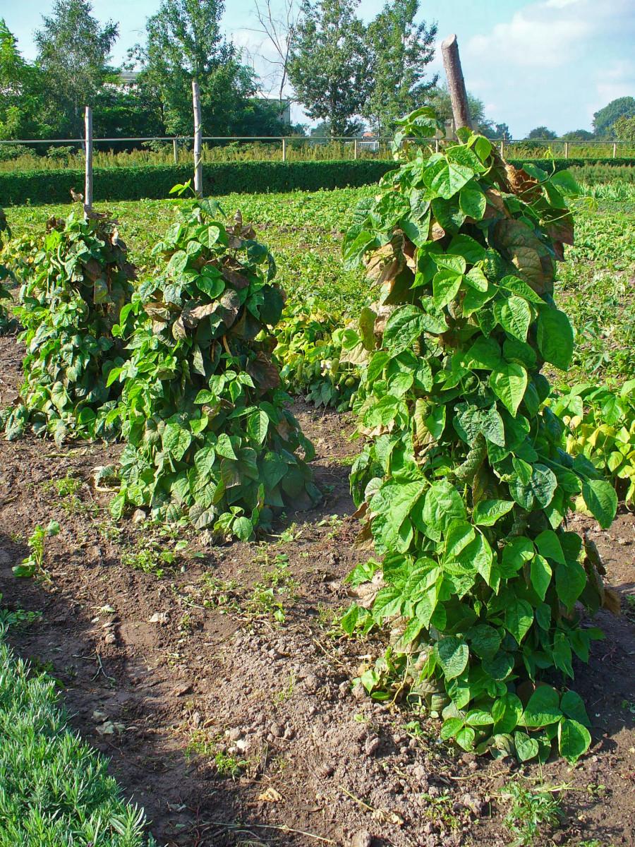 The bean plant