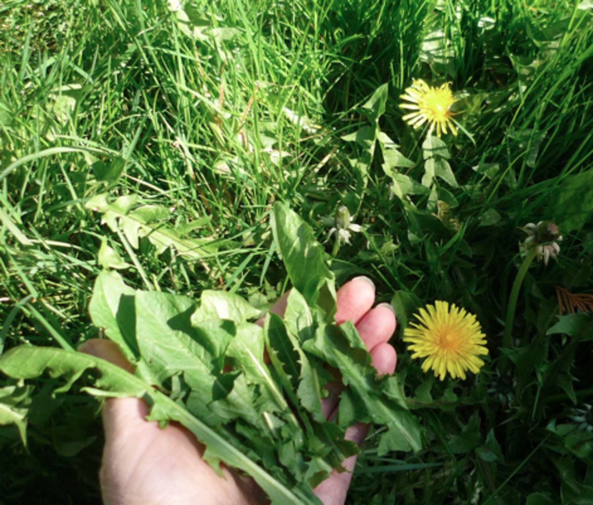 Making dandelion tea by gathering fresh plants is a good exercise.