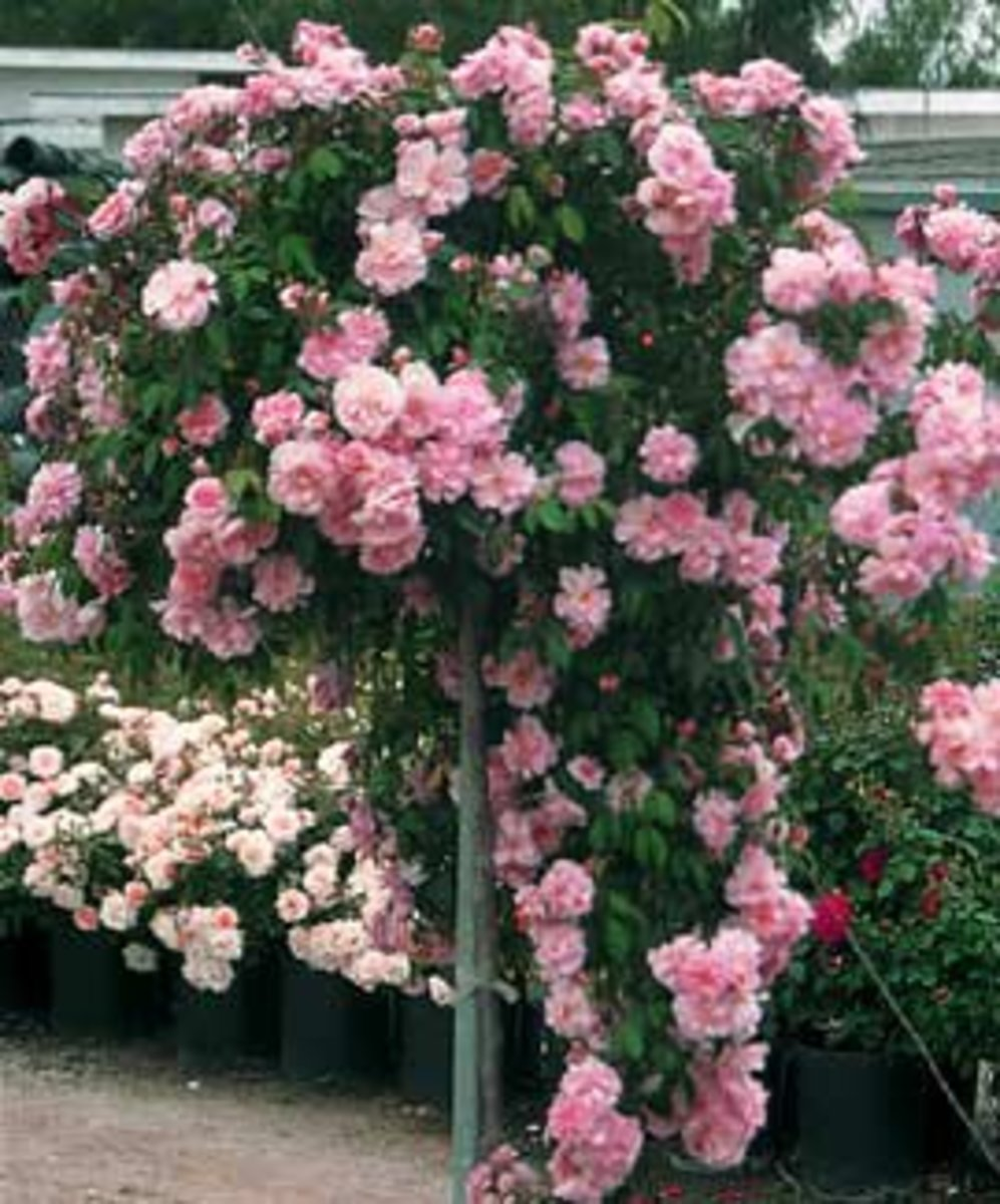 Weeping China Doll Tree Rose