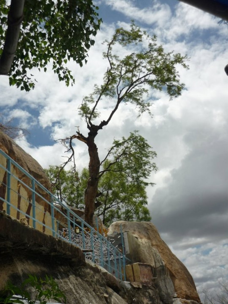 The rejuvenated Kalpavriksha tree.