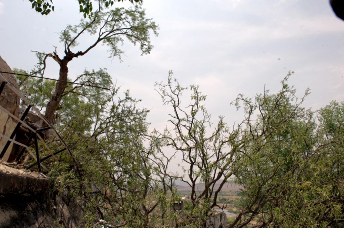The message of the fallen Kalpavriksha - Mrityorma Amritam Gamaya