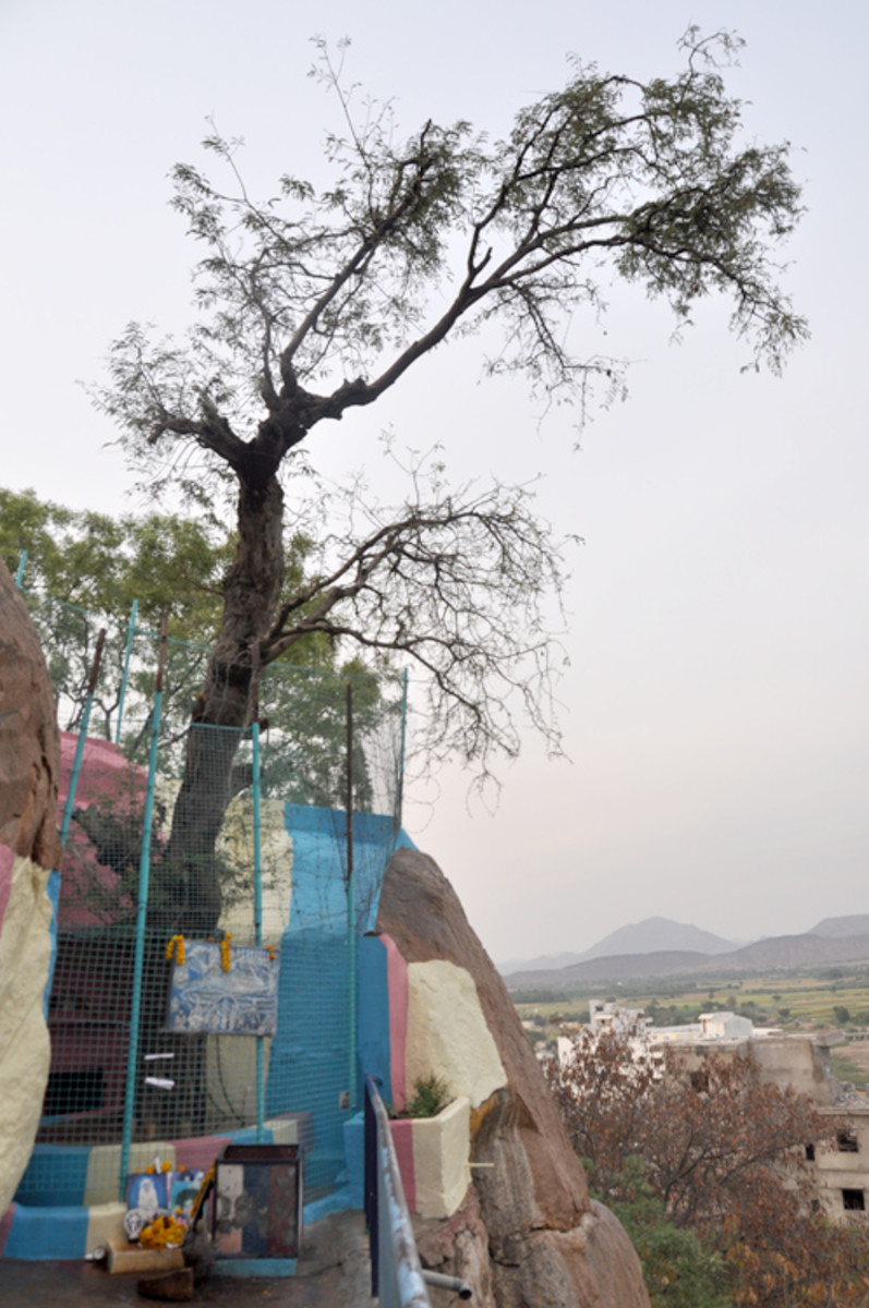 The Kalpavriksha tree as it stands today (10th April 2013). A protective fence has now been erected around it.