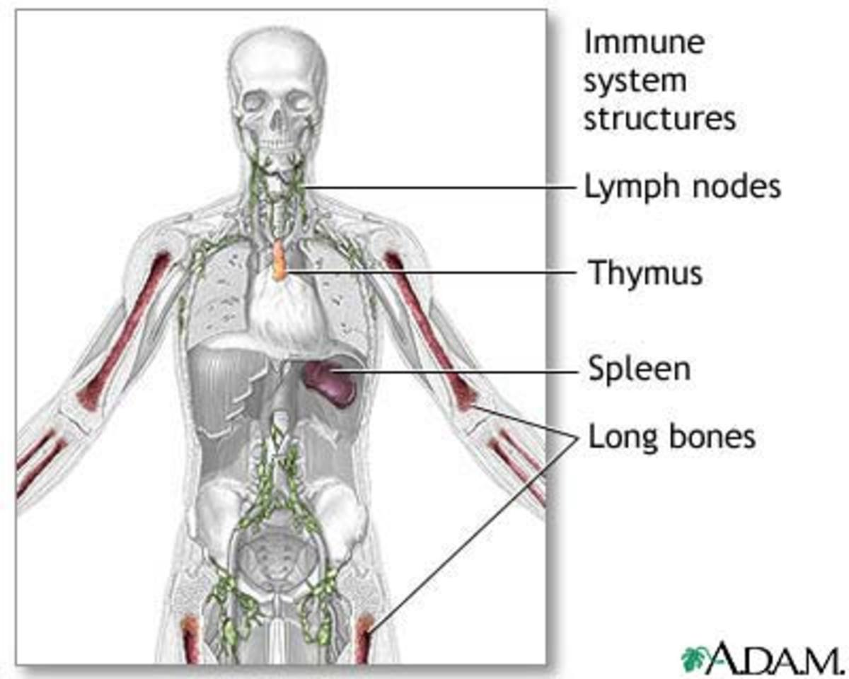 The bodies immune system consist of different organs that work together to fight disease causing organisms