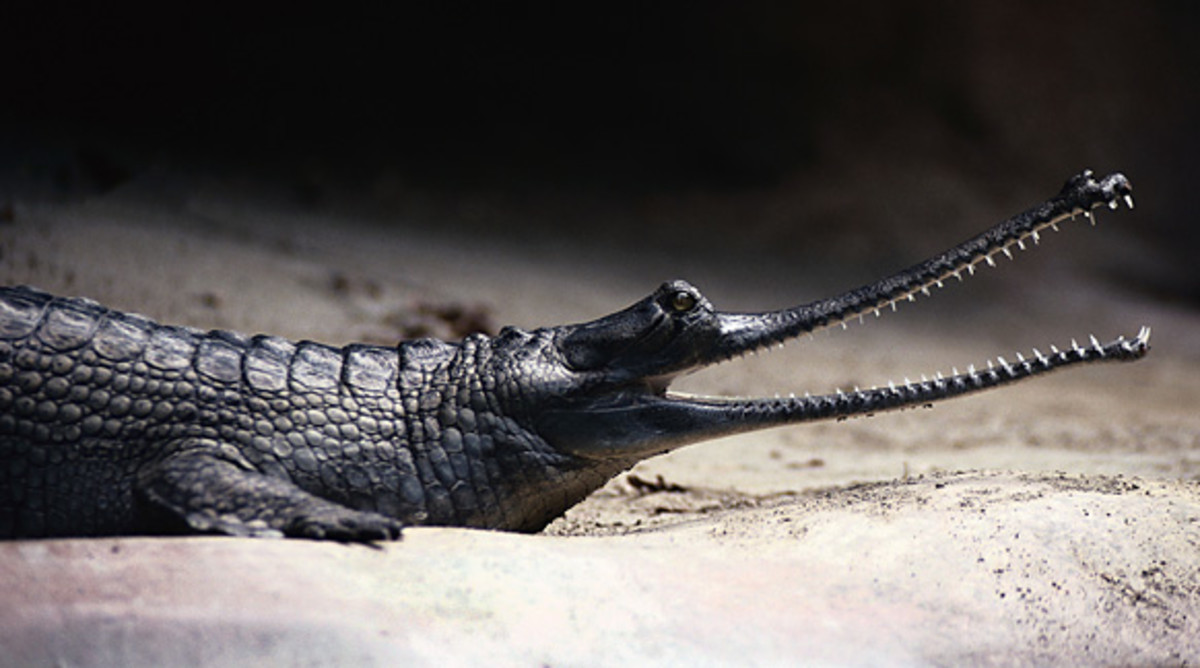 The smile of a gharial is made up of approximately 110 teeth.