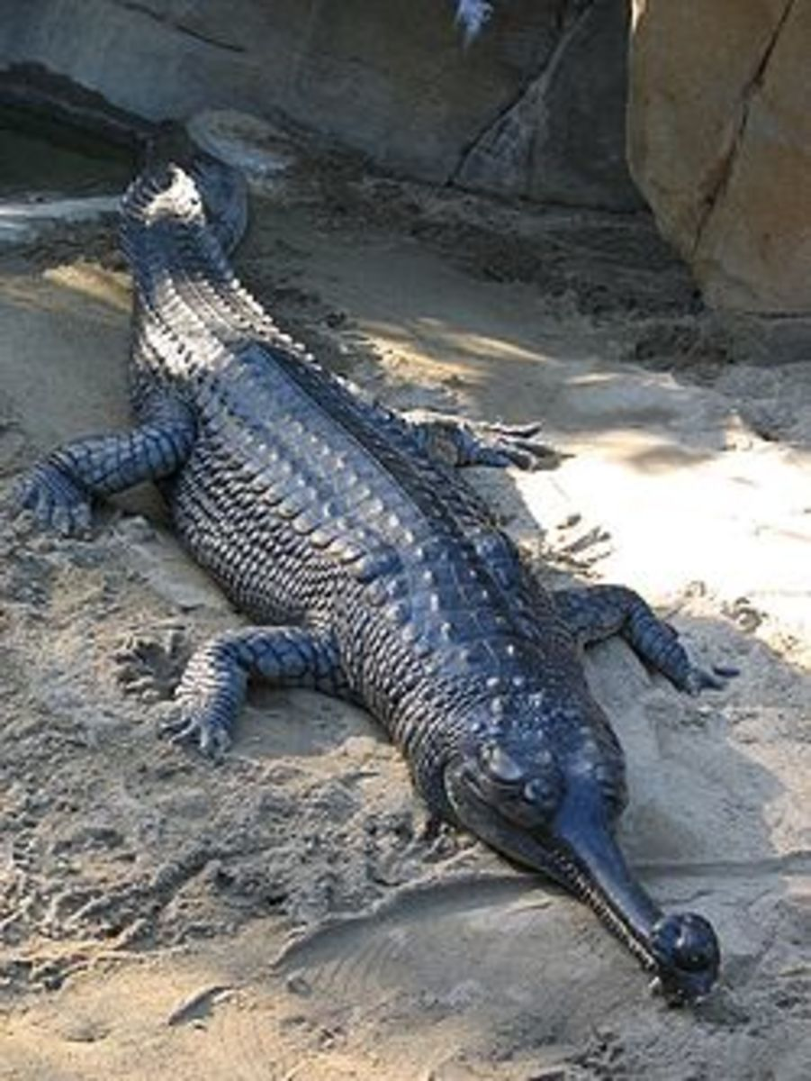 Hatching from eggs at a mere 15 inches long, gharials have the ability to grow over 15 feet!