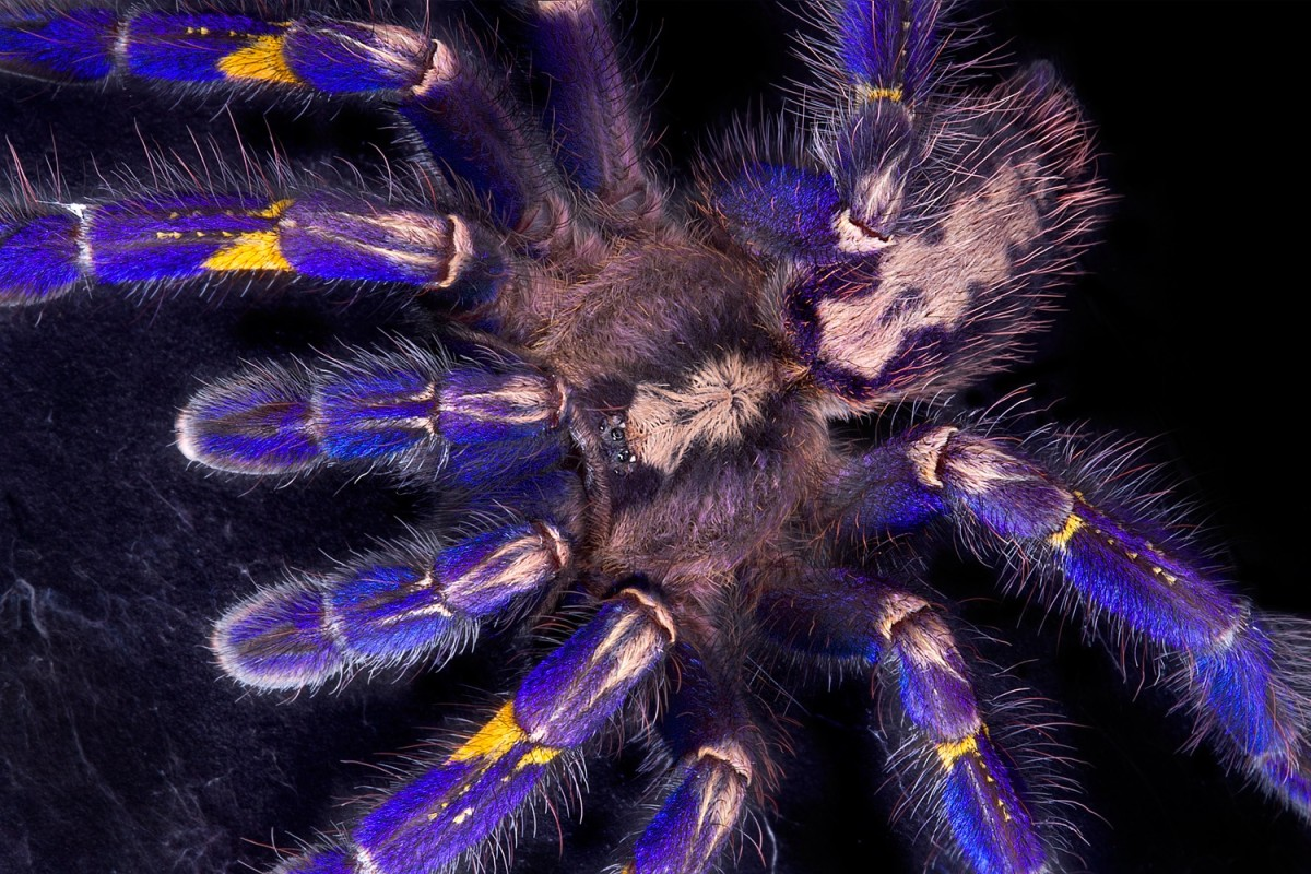 """They aren't called """"ornamentals"""" for nothing! Look, but don't touch, is the general rule when dealing with these spiders."""