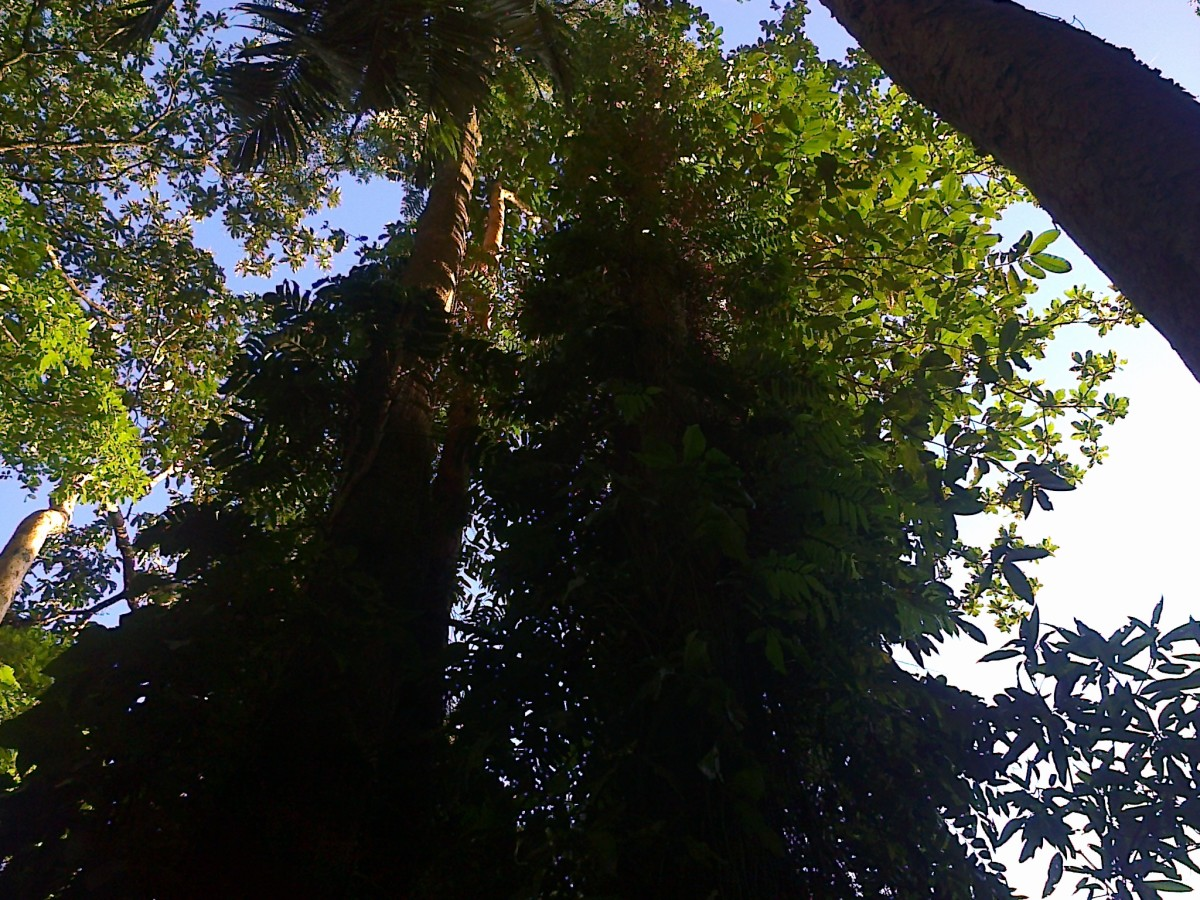 Towering trees at Nasuli Resort