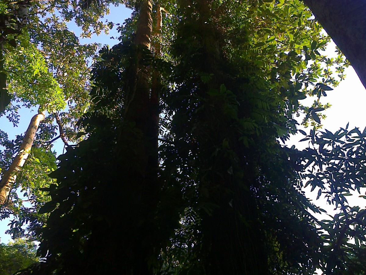 Towering trees surrounding the Nasuli lagoon.