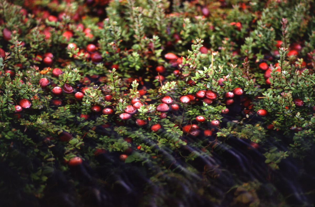 Cranberry growing in bogs