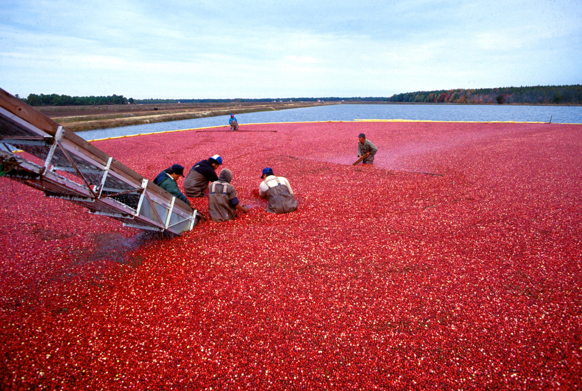 wet harvesting of cranberries