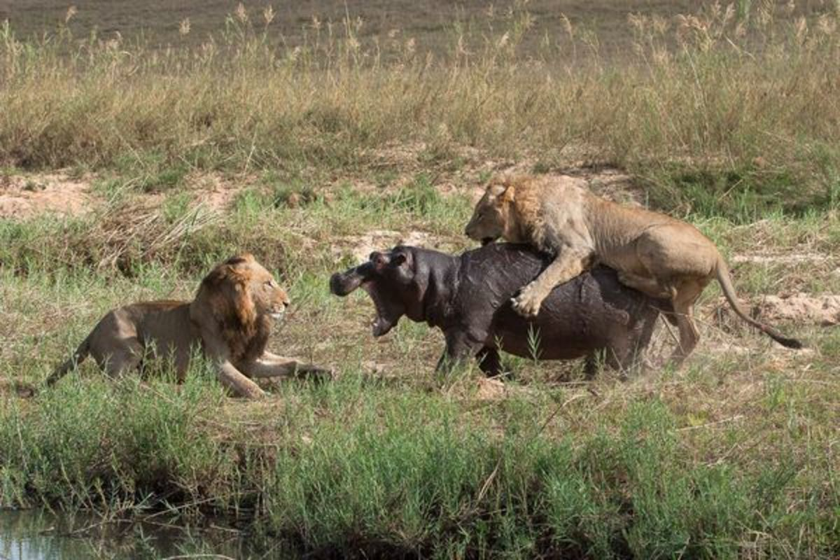 Lion Facts about Prey