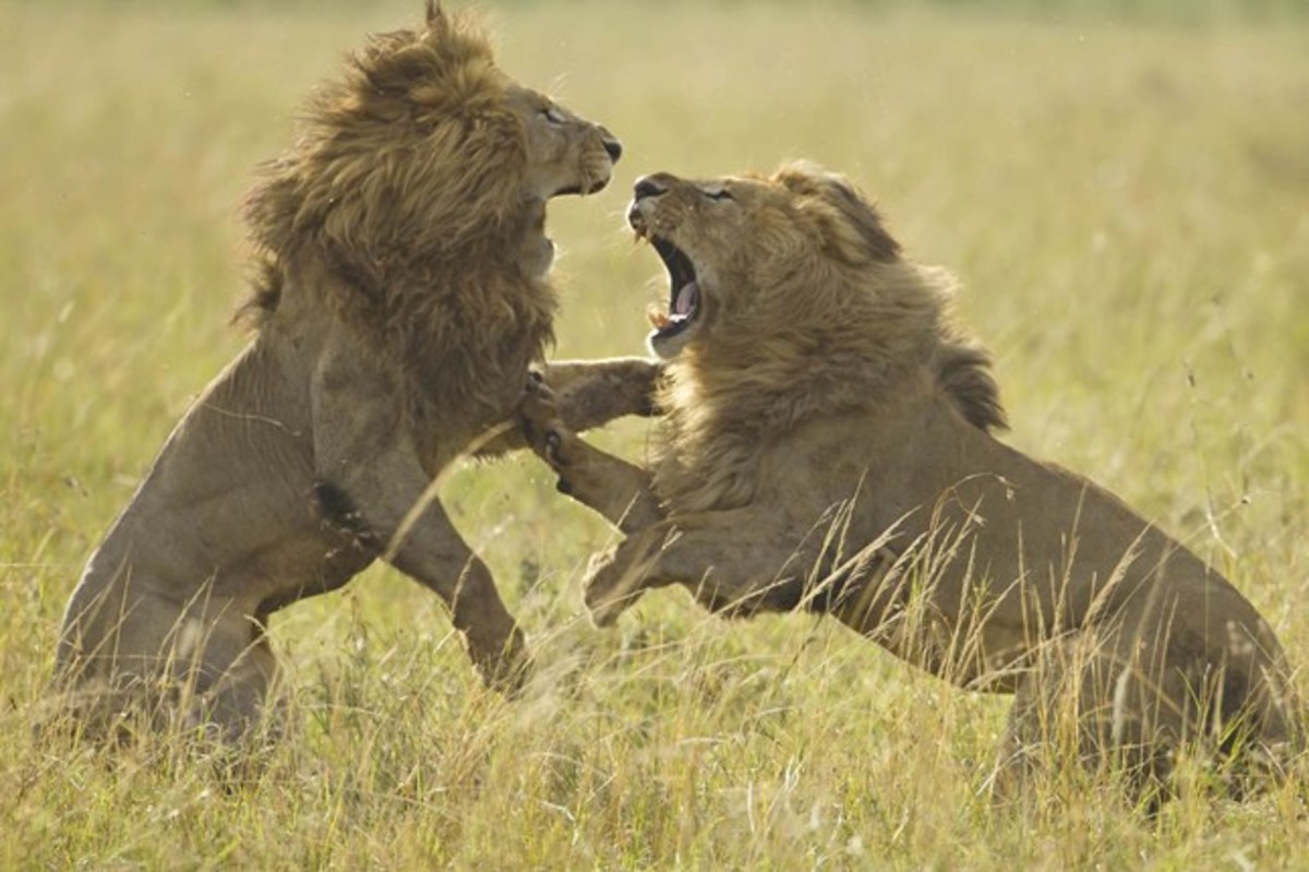 Masai Mara African Lions Battle - Black Mane vs. Scarface fighting over a lioness.