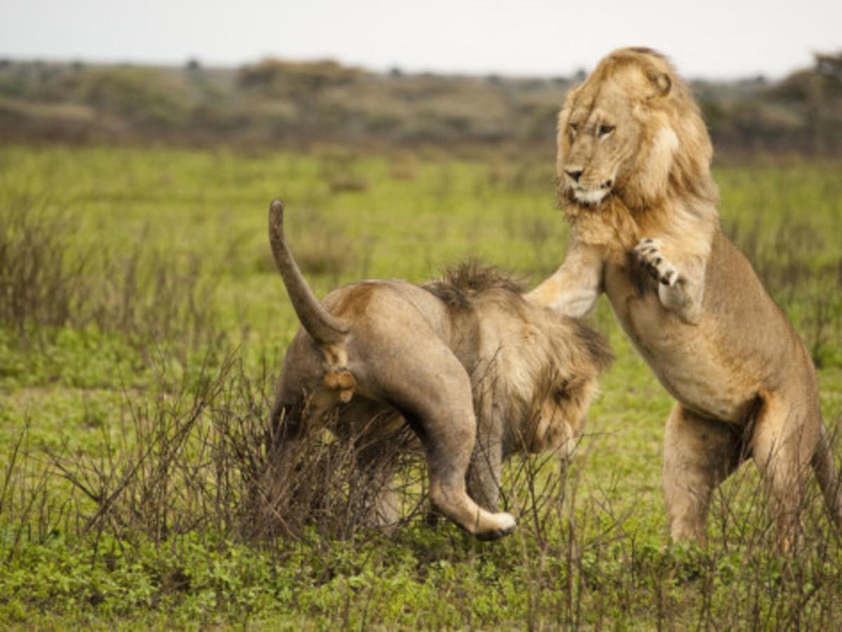 Lion Battle 3