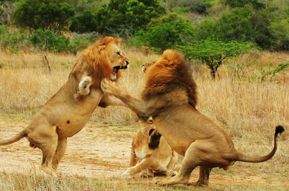 Lion Battle - Fight!