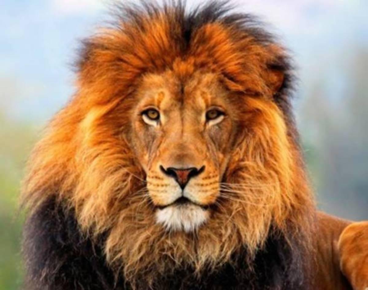 I Am Lion - Apex Predator